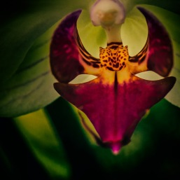 Predator - Abstract Moth Orchid