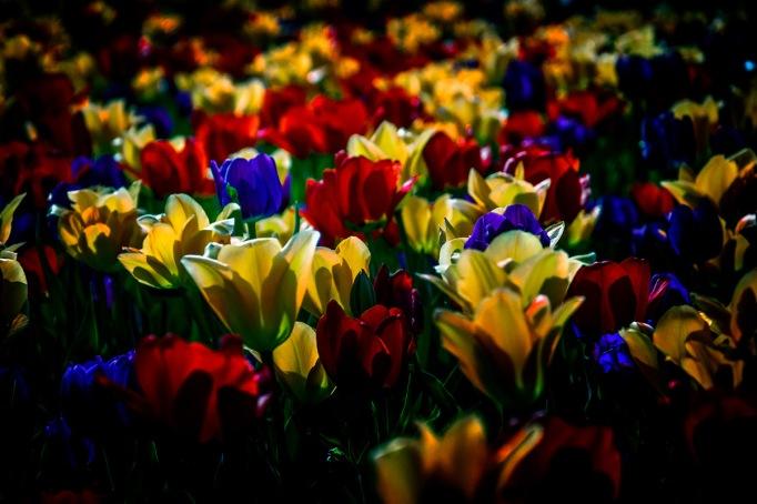 Profusion - Tulip Garden