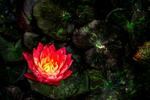 Water-Lily - Abstract Water Lilies